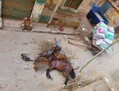 النيابة تباشر التحقيق مع صاحب عربة كارو وعاطل تعديا بالضرب على حصان حتى الموت