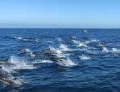 مئات الدلافين تلعب وتتسابق جنوب ولاية كاليفورنيا.. فيديو