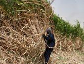 السودان.. غرق المساحات المزوعة بقصب السكر بسنار جراء السيول