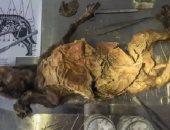 العثور على كلب نافق منذ 14 ألف عام معدته تحتوى على قطعة من وحيد القرن الصوفي