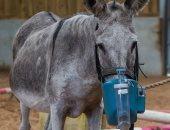 الخير مبيفرقش بين بشر وحيوان.. مؤسسة بريطانية تصنع جهاز تنفس لحمار