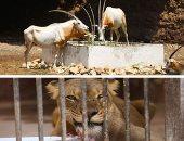 حديقة الحيوان تستعرض إنجازات الحفاظ على سلالات نادرة فى عيد ميلادها الـ130