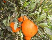 الزراعة تعلن إحلال وتجديد مزارع الفاكهة بأصناف جديدة وتحويلها للرى الحديث