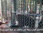 """فيديو.. الشامبنزى """"البرنس وزوجته إنجى"""" يستقبلان زوار حديقة الحيوان بوصلة رقص"""