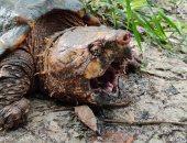 العثور على سلاحف عملاقة تشبه التمساح بأحد الأنهار فى أمريكا.. صور