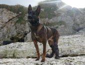"""الكلب """"كونو"""" يحصل على أرفع الأوسمة العسكرية البريطانية بعد إصابته بمطاردة"""