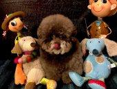 """يشبه الدمية.. الكلب """"كوكورو"""" اليابانى حسابه يجذب 150 ألف متابع .. صور"""
