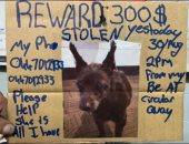 متشرد يعرض مكافأة 300 دولار للعثور على كلبته شاجى بأستراليا. صور