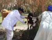بيطري الوادى الجديد: تحصين 6346 رأس ماشية ضد مرض الجلد العقدي بالداخلة والفرافرة