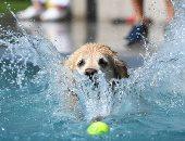 """""""لعب وعوم وبلبطة"""" فى اليوم العالمى لسباحة الكلاب بميونخ.. ألبوم صور"""