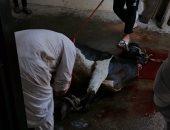 """الأهالى يذبحون """"عجل"""" ابتهاجا بفتح 6 مساجد جديدة في الإسكندرية"""