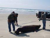 """السلطات المكسيكية تحقق فى نفوق 137 من """"كلب البحر"""" ملقاة على الشواطئ.. صور"""
