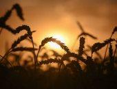 الذهب الأصفر أمن العالم الغذائى... موسم حصاد القمح فى روسيا