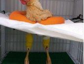 أبرز لقطة.. طبيب العملية الجراحية لفرخة البحر الأحمر: صاحبها أجنبى وبيحبها