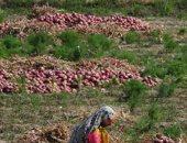 الزراعة تعلن تخطى صادرات البصل 315 ألف و880 طن وجارى الشحن للأسواق العالمية