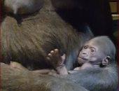 احتفالات بولادة ثالث غوريلا بحديقة حيوان كولماردن فى السويد.. فيديو وصور