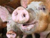 """أمريكا تواجه أزمة ملايين الخنازير الوحشية """"يمكنها استضافة 30 مرضا فيروسيا"""""""