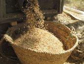 محافظ كفر الشيخ: جنى 85 ألف طن من محصول الأرز ورصد أى مخالفات لحرق القش
