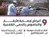 9 أعراض لإصابة الأبقار والجاموس بالحمى القلاعية.. إنفوجراف