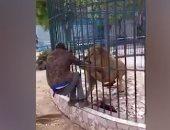 لحظة عقر أسد يد عامل فى حديقة الحيوان بالسنغال.. فيديو