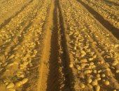 الزراعة تعلن أكثر من 600 ألف فدان مساحات خالية من العفن البنى فى البطاطس