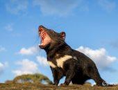 شيطان تسمانيا.. قصة عودة حيوان نادر لأستراليا لأول مرة منذ 3 آلاف عام