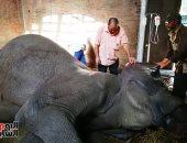 """محمد عبد الرحمن يكتب : أحزان """"نعيمة"""" فى الذكرى الأولى لـ رحيل آخر فيل فى حديقة الحيوان"""