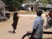 ماعز بقرية هندية يقلد البشر فى السير على قدمين.. فيديو