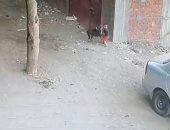 كلب ضال يعقر طفلا بقرية كفر الحدادين بالقليوبية