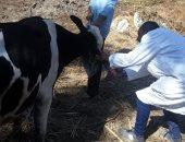 تحصين 150 ألف رأس ماشية و32540 طائراً من الأمراض الوبائية بكفر الشيخ