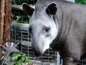 أنثى تابير من أمريكا الجنوبية تلهو فى حديقة حيوان شنغهاى.. ألبوم صور