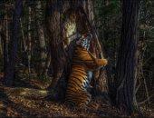 نمر نادر يحتضن شجرة.. قصة صورة فاز صاحبها بجائزة الحياة البرية