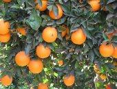 فاينانشيال تايمز: مصر أصبحت أكبر مصدر للبرتقال فى العالم