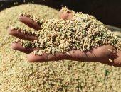 لؤلؤ على أرض المحروسة... موسم حصاد الأرز فى مصر.. ألبوم صور