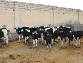 تعرف على محطات الإنتاج الحيواني بكفر الشيخ.. صور