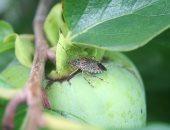 """""""البق"""" الطاعون الجديد بكتالونيا يقضى على شجر الزيتون ويهدد المحاصيل الزراعية"""