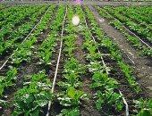 مجلس الوزراء ينشر فيديو يوضح أهمية الرى بالتنقيط وفوائده للمزارع