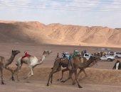 ننشر أسماء الفائزين بختامى أشواط سباق الهجن بنويبع بجنوب سيناء