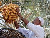 النخل طرح.. موسم حصاد التمر فى السعودية .. ألبوم صور