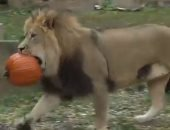 حديقة إلينوى توزع حلوى على الحيوانات للاحتفال بالهالوين فى أمريكا.. فيديو