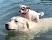 نزهة مجانية من صديق.. كلب يحمل آخر على ظهره للسباحة فى بحيرة.. فيديو وصور