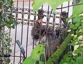 حزن فى هولندا بعد مقتل توأم شمبانزى: لا يجب معاملة الحيوانات بهذه الطريقة