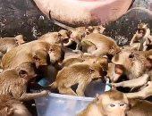 القرود تعانى الجوع بسبب كورورنا ويتدافعون على الخبز فى تايلاند.. فيديو وصور