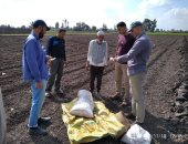 زراعة كفر الشيخ تعلن التوسع فى زراعة القمح على مصاطب وحقول إرشادية للفول