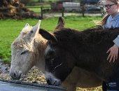 """""""بحبك يا حمار"""".. طريقة علاج مبتكرة في بريطانيا بالتحدث للحيوانات.. ألبوم صور"""