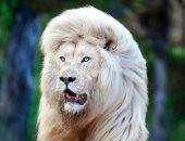 أسد نادر بشعر أبيض يجذب زوار المحميات بجنوب إفريقيا.. صور