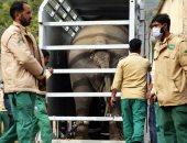 """نقل الفيل الباكستانى""""كافان"""" إلى محمية للحيوانات فى كمبوديا ..صور"""