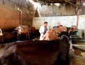 بيطرى الشرقية : فحص 3724 رأس ماشية ضد البروسيلا والسل البقرى