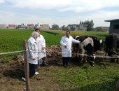 تحصين 146 ألف رأس ماشية ضد الحمى القلاعية والوادى المتصدع بالبحيرة