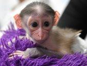 ولادة أصغر قردين بالعالم بحجم كرة تنس طاولة فى حديقة حيوان بريطانية.. فيديو